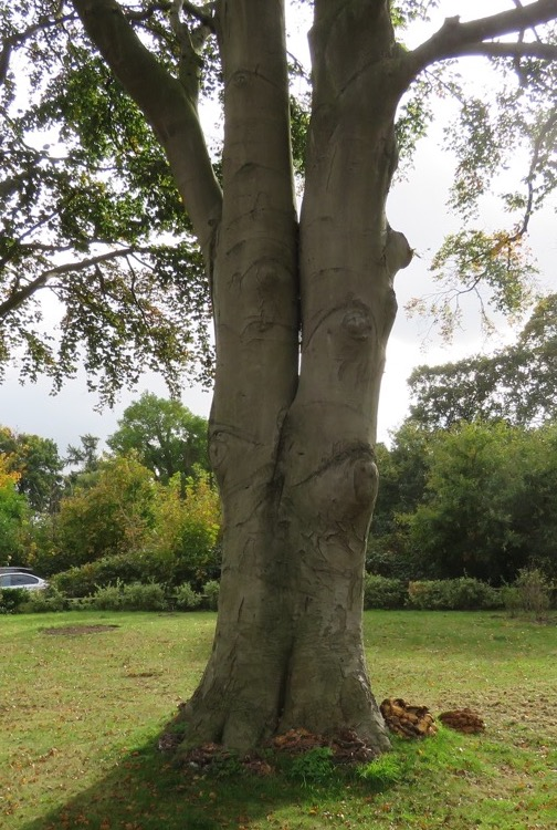 Beech tree surrounded by disease