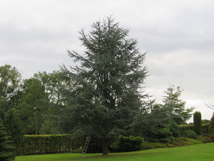 A large Blue Cedar tree before reshaping and reducing